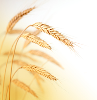 Investment advice: Wheat futures image